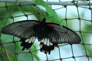 Papilio polytes samec