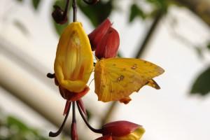 Phoebis philea na Thunbergia mysorensis