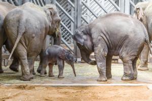 Mládì slona indického se slonicemi Tamarou a Sittou