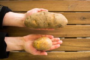 McBrambora_a_běžná_brambora