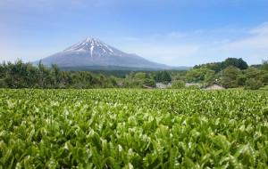 Matcha Tea_Fuji a čajové pole
