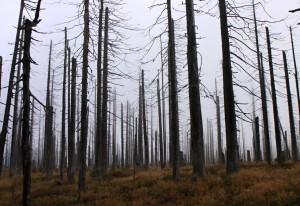 stromy s kůrovcem