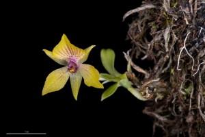 Výstava_orchidejí_-_Telipogon_antioquianus
